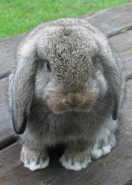 Holland Lop Colors Bunny Lops