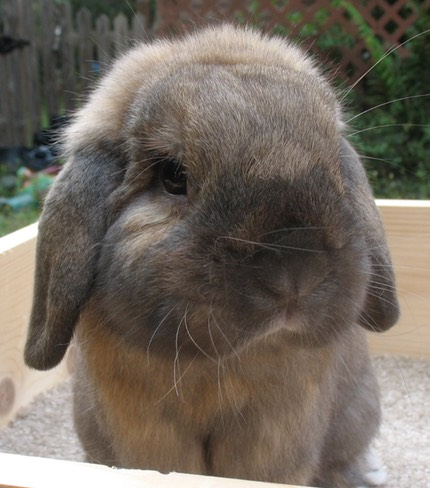 Welcome to our Holland Lop Rabbitry: BUNNYLOPS | Bunny Lops