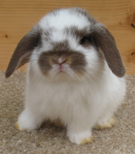 Welcome To Our Holland Lop Rabbitry Bunnylops Bunny Lops